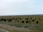 随着海拔越来越高,两旁的草地中渐渐出现了牦牛。据说现今的牦牛一头价格在1万元左右。估计从牦牛的数量来看,也就知道现在藏族人民的生活水平不差。